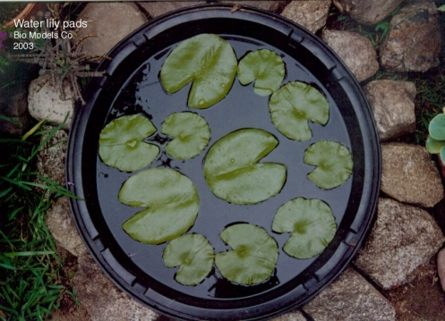 1Water-lily-pads-2-.jpg copy 1