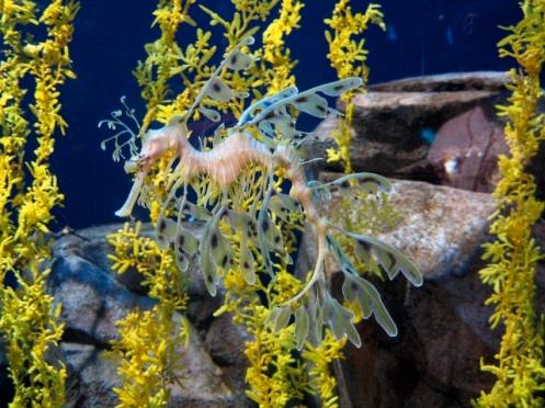 BMC w leafy seadragon sargassum