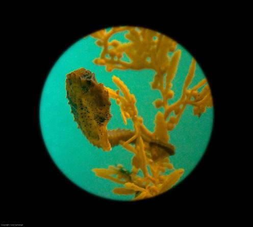 sargassum kkkk
