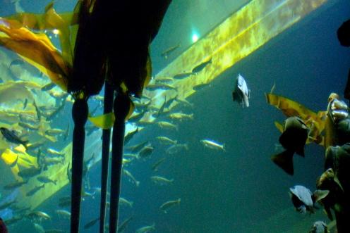 Bull Kelp Seattle Aquarium