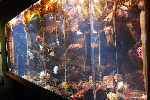 bull_kelps_oregon_coast_aquarium