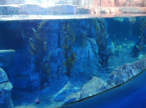 Critter Resistant Kelp at Aquarium of the Pacific